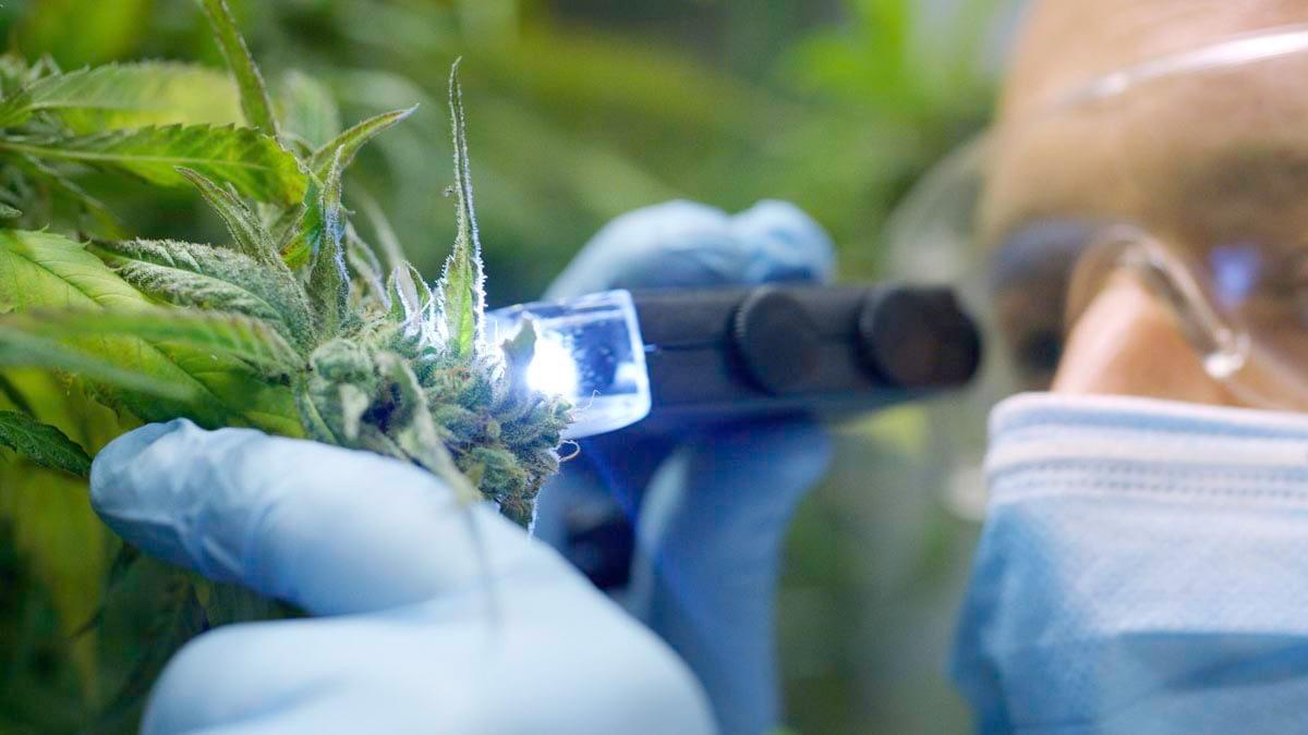 Medical researcher wearing a blue mask taking a sample of hemp cbd bud