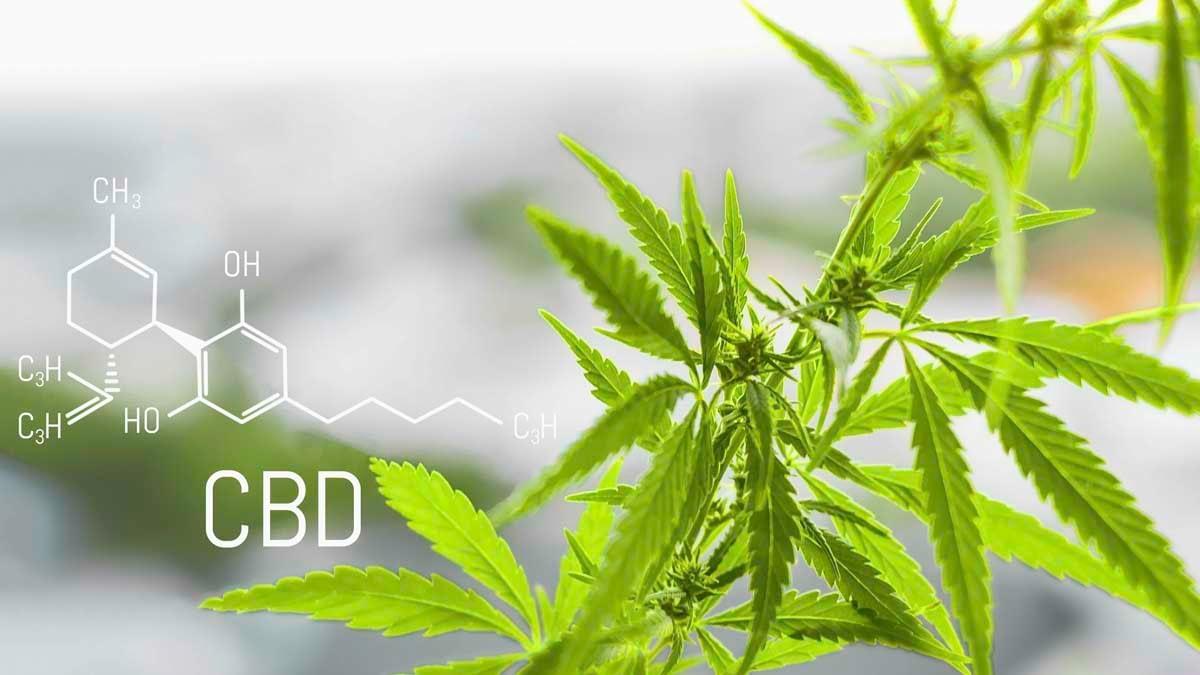Cannabis of the formula CBD cannabidiol. Concept of using marijuana for medicinal purposes.